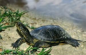 имя черепахи